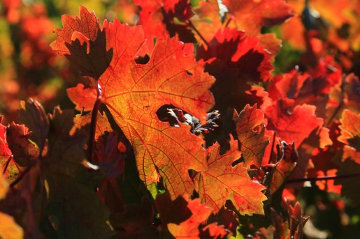Rebe in Herbstfarben (© Lena Labryga / Weonlandia)