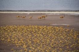 Vicuñas (© Lena Labryga / Weonlandia)