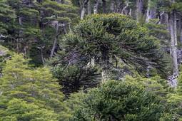 Araukarie im Nationalpark Huerquehue (© Lena Labryga / Weonlandia)