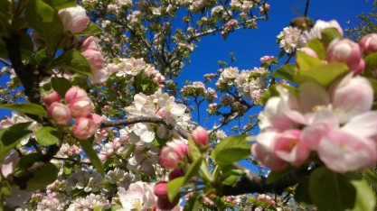 Kirschblüten (© Lena Labryga / Weonlandia)