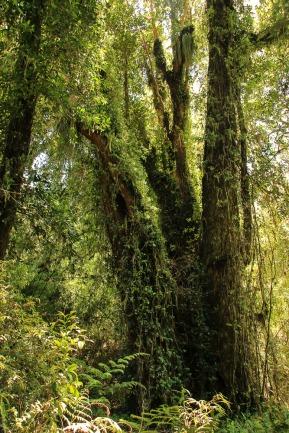 Baum im Nationalpark Alerce Andino (© Lena Labryga / Weonlandia)