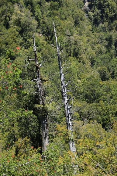 Bizarres im Nationalpark Alerce Andino (© Lena Labryga / Weonlandia)