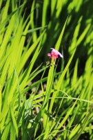 Blüte La Campana (© Lena Labryga / Weonlandia)